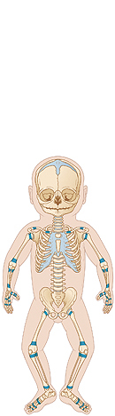 Outline of baby with skeleton visible. Shaded areas show growth plates at ends of bones.