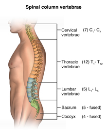 Anatomy of the spinal column showing the cervical vertebrae, the thoracic vertebrae, the lumbar vertebrae, the sacrum, and the coccyx