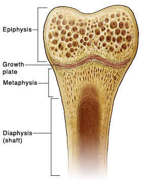 Cross section of top part of bone showing epiphysis, growth plate, metaphysis, and diaphysis (shaft).